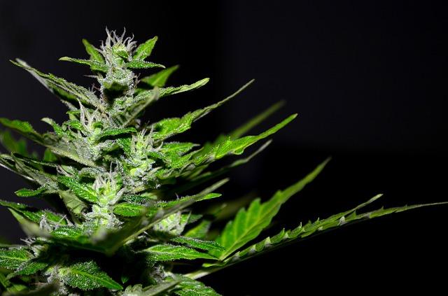 Acquistare cannabis legale